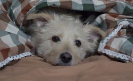 Cute mixed breed dog is lying on bed covered with blanket and looking at camera. Pet looks sad and suppressed. Offending royalty free stock image