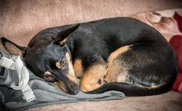 Cute mixed breed dog Royalty Free Stock Image