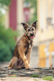 Cute mixed breed dog sitting at street of Szentendre Royalty Free Stock Images