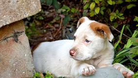 Cute mixed breed pit bull puppy. Mixed breed pitbull puppy laying in bushes by concrete porch stock photography