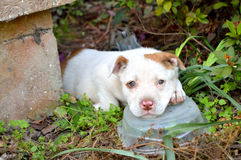Cute mixed breed pit bull puppy. Pouty and sleepy mixed breed pitbull puppy, laying in bushes by concrete porch, with head resting on clear plastic container royalty free stock images