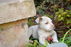 Cute mixed breed pit bull puppy. Spotted, mixed breed, puppy laying behind a concrete porch step, in bushes with colorful chew toy stock photography