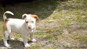 Cute mixed breed pit bull puppy. Spotted miixed breed pitbull puppy standing in yard outside stock images