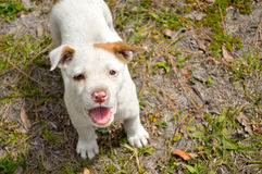 Cute mixed breed pit bull puppy. Mixed breed pit bull puppy standing in yard, looking up into camera and barking royalty free stock image
