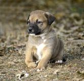 Cute mixed breed puppy with deformity. On his front right leg,image of royalty free stock image