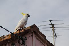 Cute moment of Cockatoo bird standing alone on the house`s roof. A Cute moment of Cockatoo bird standing alone on the house`s roof stock photos