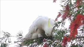 A Cute moment of the cockatoo bird on the tree and eating Red bottle brush flower in a spring season at a botanical garden. Cute moment of the cockatoo bird on stock footage