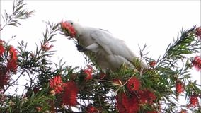 A Cute moment of the cockatoo bird on the tree and eating Red bottle brush flower in a spring season at a botanical garden. Cute moment of the cockatoo bird on stock video footage