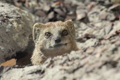 Cute mongoose Stock Image