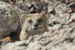 Cute Mongoose Stock Image