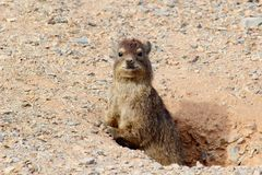 Cute Mongoose posing nature, Namibia Stock Photo
