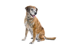 Cute mongrel dog. Closeup of cute mixed breed mongrel dog isolated on white background stock photos