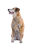 Cute mongrel dog Royalty Free Stock Photos
