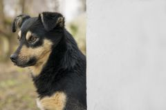 Cute mongrel dog outdoors. Closeup of black mixed breed doggy near wall background. Royalty Free Stock Images