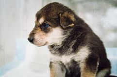 Cute mongrel puppy with blue eyes, profile royalty free stock image
