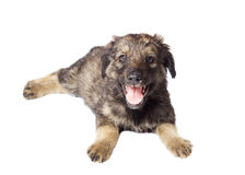 Cute mongrel Stock Photography