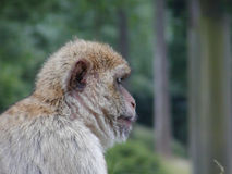 Cute monkey. Looking to the right stock photos
