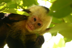 Cute monkey. Cute baby monkey looking at front Royalty Free Stock Image