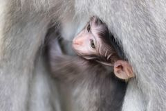 Cute monkey baby. Close-up of shy baby monkey hiding and sucking mother`s chest. Animal parenting concept. Bali, Indonesia Stock Images
