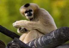 Cute monkey. Sitting in a tree outside at Denver zoo royalty free stock images