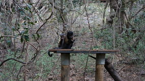 Cute monkey dines with fruit, South Africa Royalty Free Stock Images
