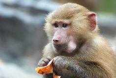 A cute monkey eating Stock Images