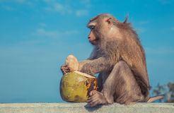 Cute monkey eating coconut. Stock Images