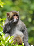 A Cute Monkey Eating Leaves Stock Images