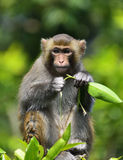 The Cute Monkey Eating Leaves. A cute monkey sitting in the branch, eating leaves Royalty Free Stock Image