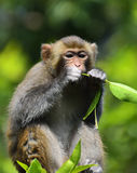 A Cute Monkey Eating Leaves. A cute monkey sitting in the branch, eating leaves Royalty Free Stock Image