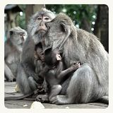 Cute monkey family from the monkey forest Bali stock image