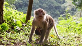 Monkey in the forest. Cute Monkey family in the indonesian forest royalty free stock image