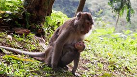 Monkey in the forest. Cute Monkey family in the indonesian forest royalty free stock images