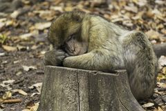 A cute monkey macaca sylvanus sleeping on a tree trunk. Close-up of a cute monkey barbary ape, macaca sylvanus sleeping on a tree trunk in the forest in fall Royalty Free Stock Photos