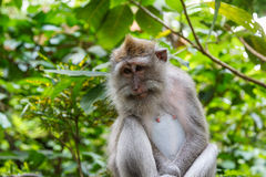 Cute monkey in Monkey Forest park on Bali island Royalty Free Stock Photos