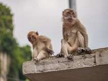 Cute Monkey with Mother Sitting on the Roof in Batu Caves, Malaysia. Cute Two Monkey with Mother Sitting on the Roof in Batu Caves, Malaysia Stock Photos