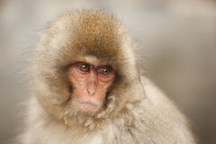 Cute monkey portrait Royalty Free Stock Photos