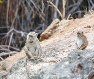 Cute Monkey on Rock, Komodo Island Royalty Free Stock Images