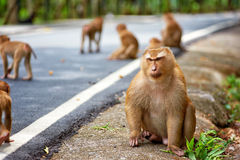 Cute monkey sits near road in Thailand Royalty Free Stock Photography