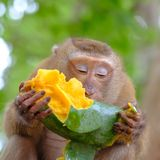 The cute monkey sitting on branch of tree and eating ripe mango royalty free stock image