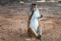 Cute monkey sitting on the ground and eating. Barbary ape or magot Macaca sylvanus Royalty Free Stock Photos