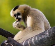 Cute monkey. Small gibbon on tree at Denver zoo royalty free stock photos