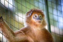 Cute monkey standing in a cage Stock Photos