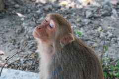 A cute monkey take offence, lives in a natural forest of Thailand. A cute monkey take offence, lives in a natural forest of Thailand royalty free stock photography