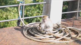 Cute monkey walk and play on rubber tube stock footage
