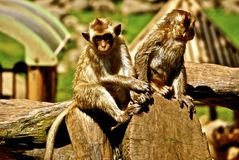 Cute Monkeys Hanging out on a Tree in China Royalty Free Stock Image