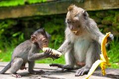 Cute monkeys lives in Ubud Monkey Forest, Bali, Indonesia. Royalty Free Stock Images