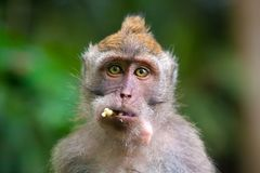 Cute monkeys lives in Ubud Monkey Forest, Bali, Indonesia. royalty free stock image