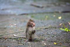 Cute monkeys lives in Ubud Monkey Forest, Bali, Indonesia. Stock Images