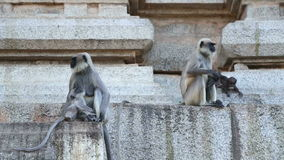 Cute monkeys sitting in front of temple in indian village hampi. stock video footage